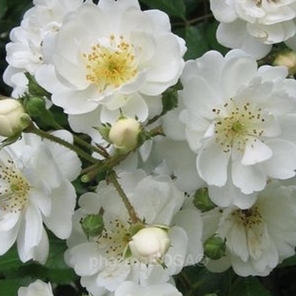 Blanco Arbusto De Rosas O Rosas De Parque Rosa De